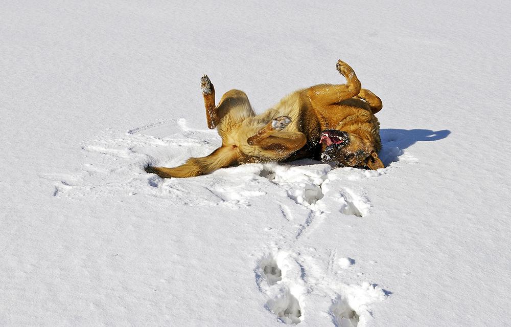 Hund rullar i snö Pixabay