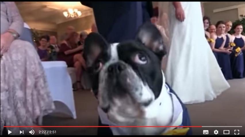 Bulldoggen George räddar bröllopet