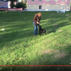 Eva Bodfäldt tränar hunden Will-Ja