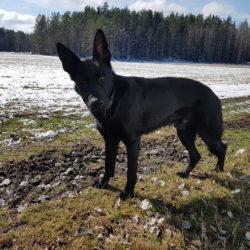 Kolja har tränat under vintern och är nu redo att prova sina tassar i ett lopp.