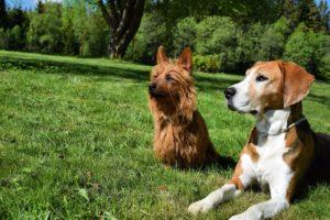 Bästa vännerna hamiltonstövaren Sickan och australiska terrier Lucky fotograferade av Mimmi.