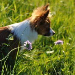 Ruffa är en blandning mellan papillon och pomeranian. En av många härliga bilder vi fått sänt till Härliga Hunds redaktion.