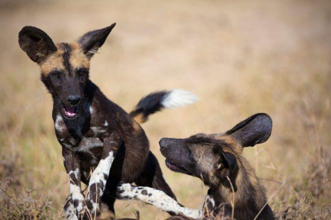 vildhund Härliga Hund WWF Världsnaturfonden