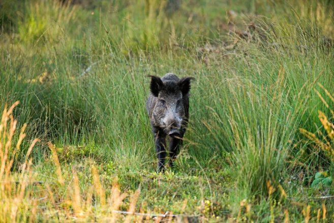 Allt fler hundar skadas av vildsvin