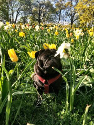 Växter och mopsar är Härliga Hunds bloggare Carro Alupos systers stora intressen.