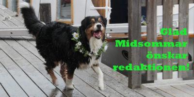 Härliga Hunds redaktion och redaktionshundar önskar GLAD MIDSOMMAR!
