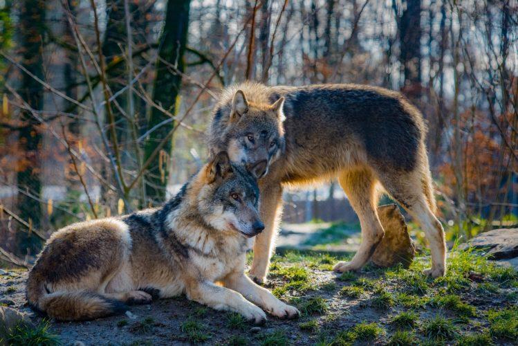 vargar och hundar ny forskning BBC Härliga Hund