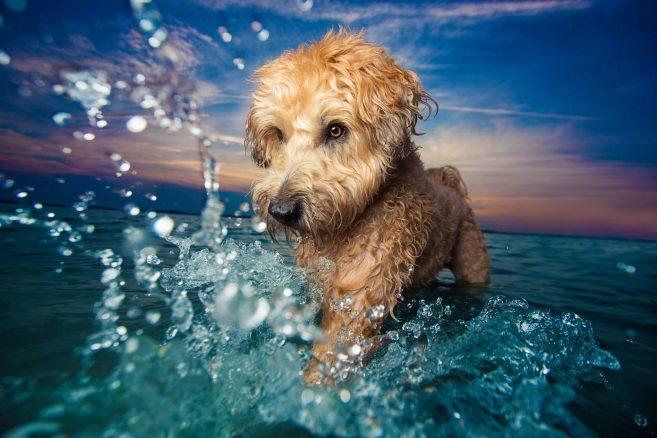 Får ej användas i annat sammanhang än Dog Photogropher of the Year 2017