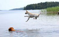 vinnare fototävling Härliga hund labrador sommar bada