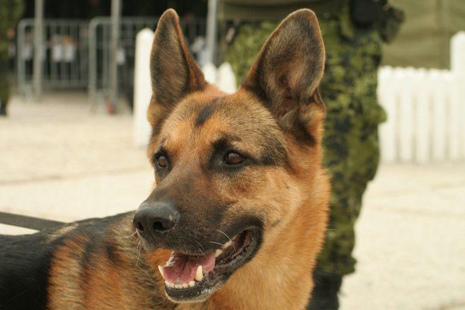 Dyrbara hundar med stor efterfrågan