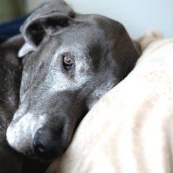 Cancer hos hundar – symtom att vara uppmärksam på