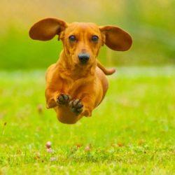 Antalet rashundar med stamtavla ökar
