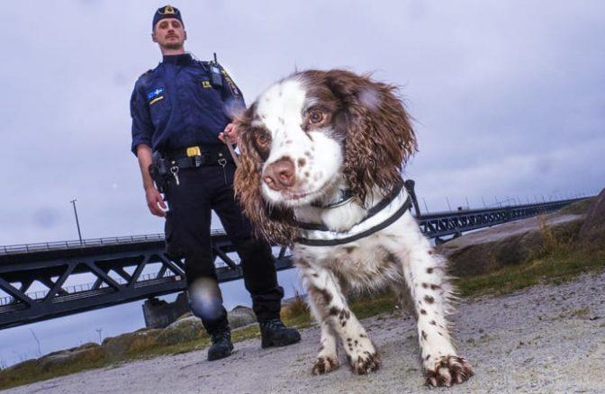 Zak är årets narkotikasökhund