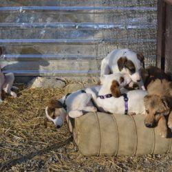 Prishtina dog shelter, avsnitt 3: 100 hundar i sheltret