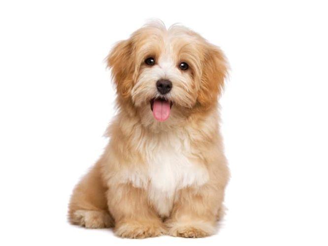 De populäraste hundraserna 2017