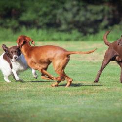 Varför viftar hunden på svansen?