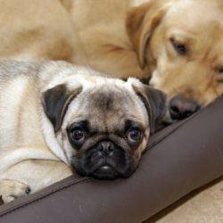 Domarkonferens: Friska och sunda hundar är målet