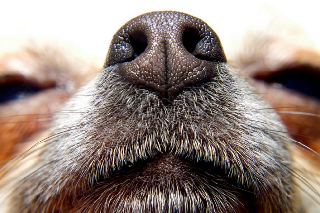 Hunden har ett sjätte sinne – värmesinnet!