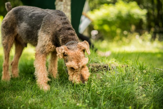 Varför hetsäter vår hund gräs?