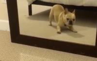 Kul film: Fransk bulldoggsvalp ser sig själv i spegeln