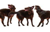 Kan din hund snurra framför dig?