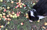 Kan hunden hitta rätt äpple?