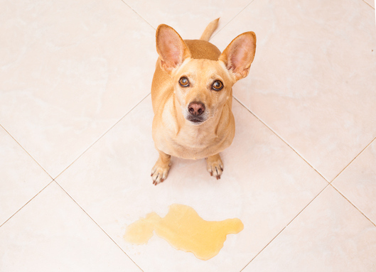 Min hund kissar inomhus, vad ska vi göra?