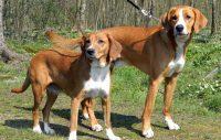 Svenska hundrasers inavel ökar