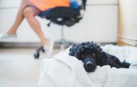 Hund på jobbet förbättrar arbetsmiljön