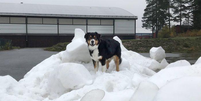Är det farligt om hunden äter snö från ishallen?