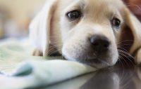 Kennelhostan är här – så skyddar du din hund