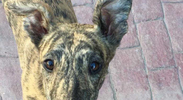 Galgon Basil dumpades på hästgård i Spanien