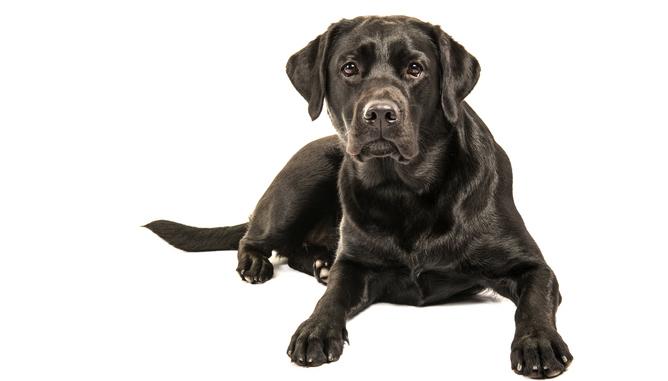 Labradorer försöksdjur vid Göteborgs universitet