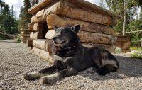 Alaska – en riktig hundnation