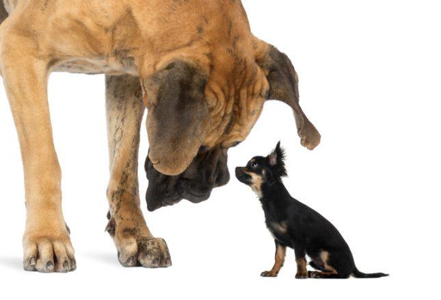Är små hundar dummare än stora?