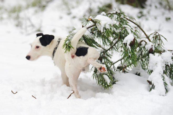 Gula fläckar i snön ser inte så kul ut – men det finns en fördel