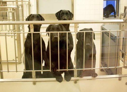 Trots protesterna – labradorerna kommer att avlivas