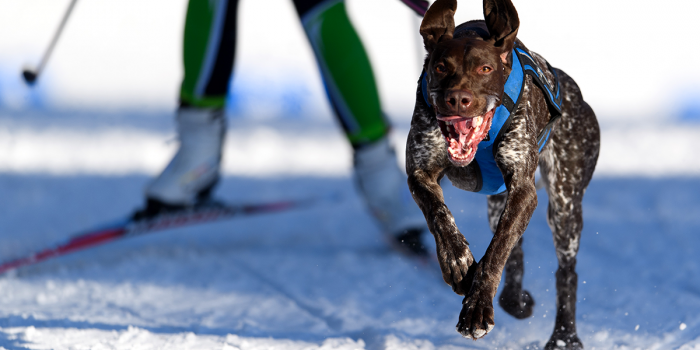 Tävla på skidor med hund