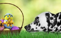 Rädda hunden från förgiftning i påsk