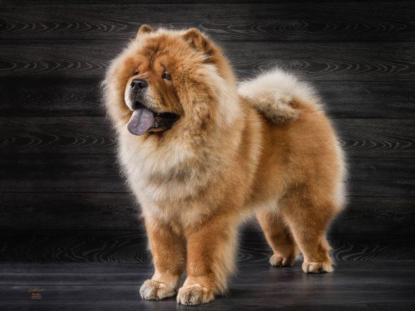 Magnifik lejonlik väktare med blå tunga
