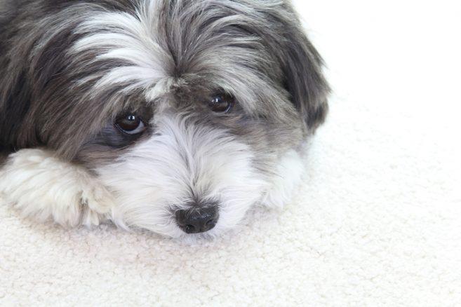 Kan din hund manipulera dig? Forskning säger ja