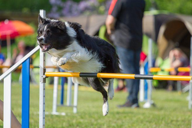 Inga norska hundar får tävla i Sverige