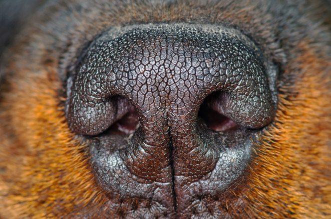 Hundens primära sinne är luktsinnet