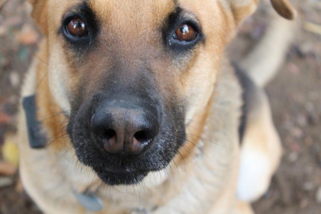 Hundar i träning för att upptäcka covid-19