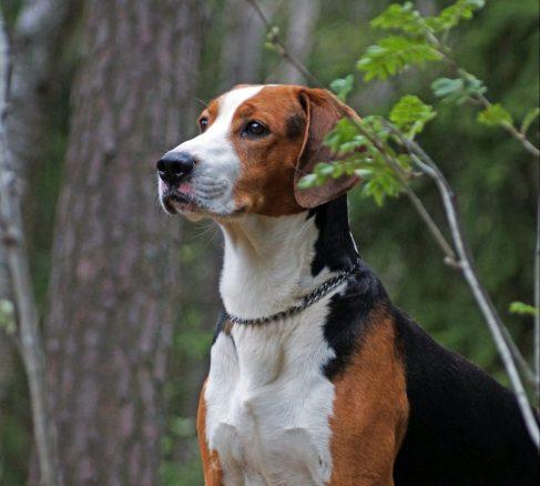 Löshundsjakten – ett kulturarv och en levande tradition