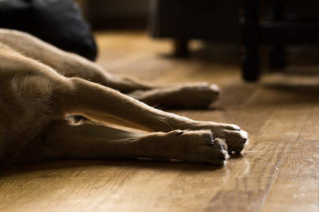 Rädda livet på din hund! Lär dig hjärt- och lungräddning!