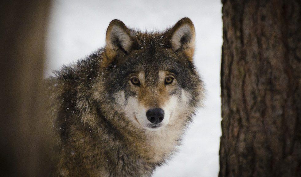 Ingen hund i de nordiska vargarna