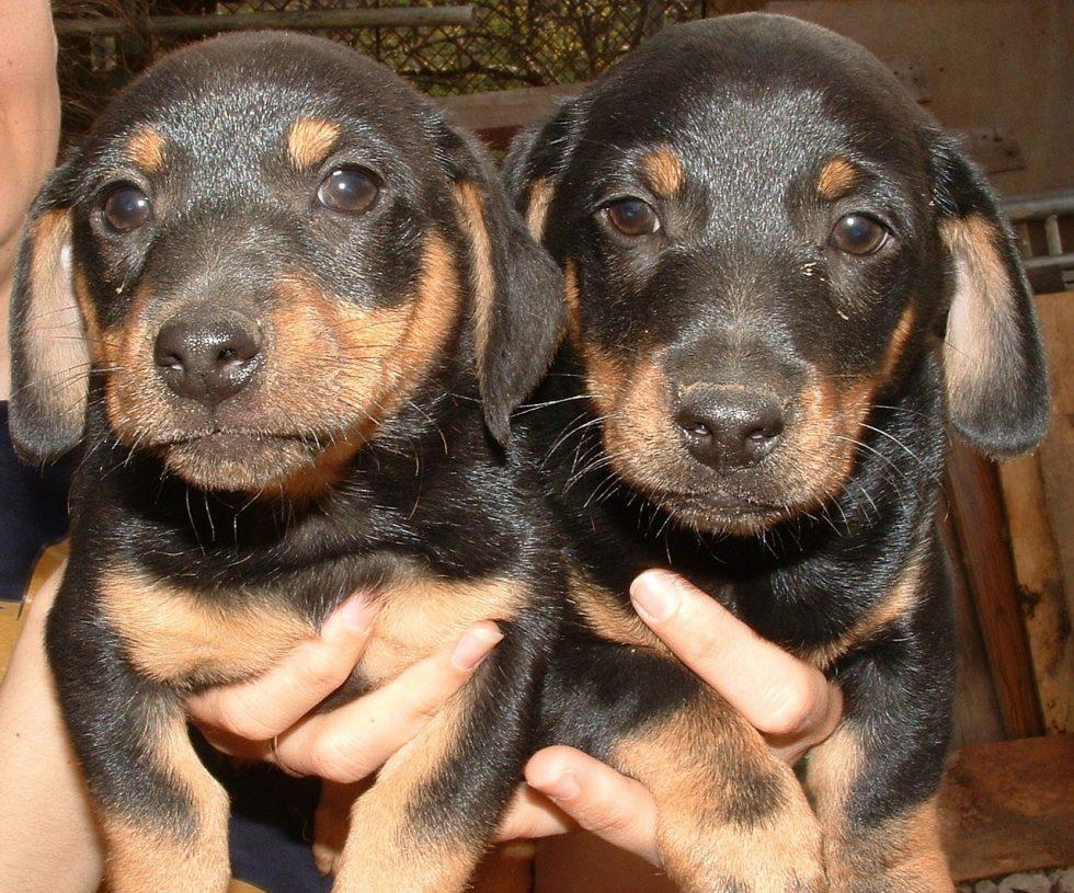 Pandemivalpar och smuggelhundar