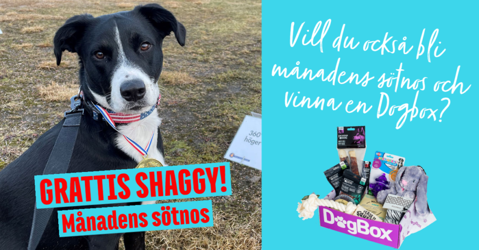 Månadens Sötnos – Shaggy