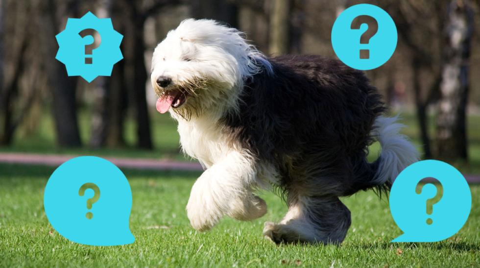 Quiz: Känner du igen hundraserna?